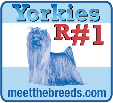 Yorkshire Terriers R #1