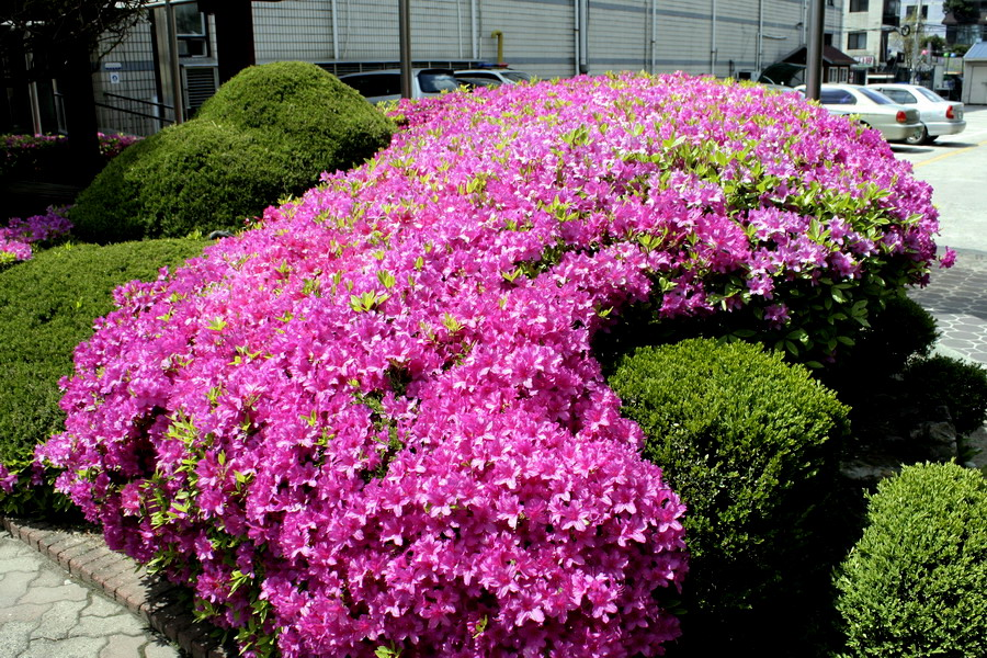 Japanese rhododendron(4)