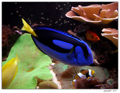 Poisson Chirurgien (Greyshift11) Tags: life sea mer france lumix dragon nemo clown panasonic bleu g1 mm 45mm dory dmc geant poissons 1445 200mm crabe 14mm murene crabzilla hippocampe chirurgien hippocampes dmcg1