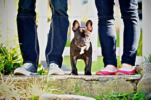 Family shot, Rosie the French Bulldog, pet portraiture by twoguineapigs Pet Photography, sydney dog photographer