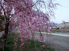 Kamo-gawa River ((^_~) [MARK'N MARKUS] (~_^)) Tags: river  sakura cherryblossoms kamogawa  kamoriver 5photosaday