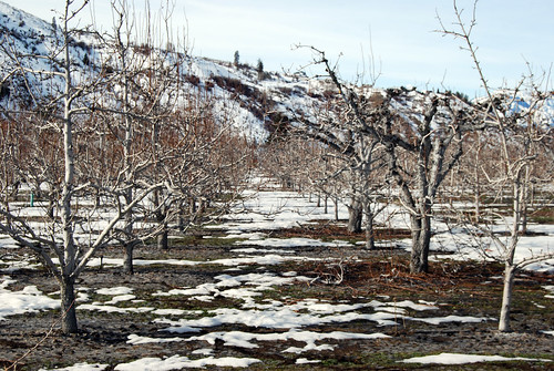 8-Cashmere Anjou Bakery Orchard