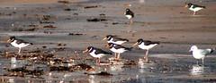 bird beach birds scotland feeding oystercatcher sutherland dornoch seawed dornochbeach