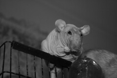 Rhonda Perched (worldchampscwsox) Tags: pets cute animals dumbo rats hairless bigears rodents cutepets fancyrats hairlessrats dumboratsrexrexrats