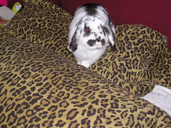 Bunny in Bed (hervioletsky) Tags: rabbit bunny bed pillows marzipan mischief lopear