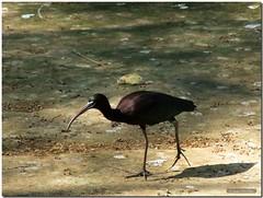 Glossy / Lustroso (SantiMB.Photos) Tags: barcelona espaa bird animal zoo spain plegadis ibis ave catalunya pjaro doana naturesfinest plegadisfalcinellus supershot mywinners salveanatureza