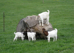 goats playing on large tree stump