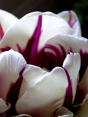 Petals Painted By Nature (ladyinpurple/Now to get my files transfered) Tags: white flower bulb purple painted tulip excellence fantasticflower bynature onewordwow mimamorflowers defendersnaturemacroandcloseup