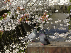 (PiroArc) Tags: kyoto dove sakura date someiyoshino 琵琶湖疏水分流