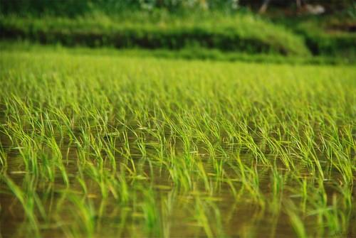 20080520春日田んぼ2