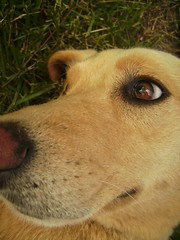 Worried (The Eighteenth Risk Taken) Tags: dog cute eye look grass yard goldenretriever puppy polaroid nose happy golden nice mutt mix eyes puppies lab labrador sweet tan fluffy retriever blond blonde worried worry hyper doggy pup doggie bandi t730 polaroidt730