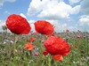 Summertime (elisabatiz) Tags: red flower nature field clouds ilovenature spring flora hungary poppies wildflower pipacs magyarország naturesfinest puszta alföld naturewatching