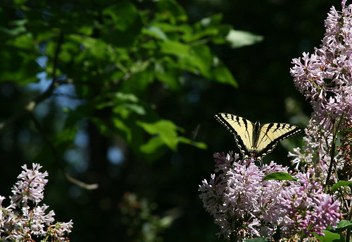 A swallowtail butterfly on the late-blooming Asian lilac.