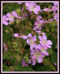 Wild Geranium (Lyle58) Tags: flower nature flora purple blossom arboretum bloom geranium lavendar mortonarboretum catchycolorspurple catchycolorsviolet theunforgettablepictures