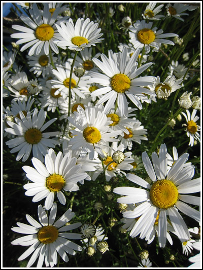 oxeyedaisies copy