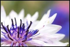 Pink & Blue (Kirsten M Lentoft) Tags: pink blue white flower macro garden flowerotica bej momse2600 frhwofavs theperfectphotographer kirstenmlentoft