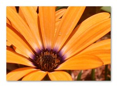 Blazing Daizy (capegirl52) Tags: orange flower macro vibrant daisy excellence naturethroughthelens