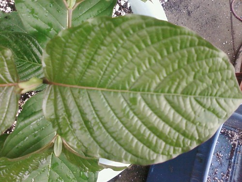 Kratom  Kratom Rifat 2 picture photo bild