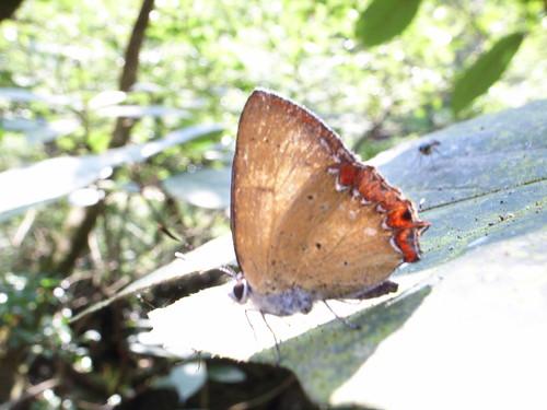 蝴蝶:紅邊黃小灰蝶