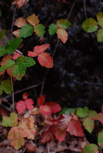 poison oak pictures on skin. is poison oak also known