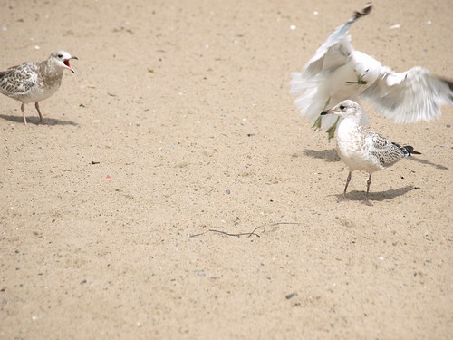 Seagull Battle
