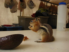 cook tent invaders (mindfuldocumentation) Tags: goldenmantledgroundsquirrel birdcamp