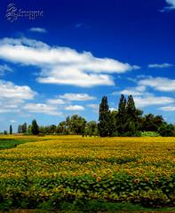 "Estilo ""Bajo el sol de Toscana"" (TRUZYNA PHOTOGRAPHY) Tags: chile flowers blue sky sun flores sol field azul clouds de landscape scenery nuvole blu country bajo under feld himmel wolken blumen el cu cielo nubes nuvens campo fields blau toscana blume bulutlar vii skyer tuscan maravillas regin moln girasoles   mraky  oblaci  sptima  ret   natureselegantshots parajeschilenos"