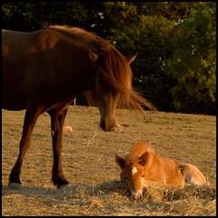 Bedtime (Kirsten M Lentoft) Tags: sunset horses animals bej animalkingdomelite momse2600 infinestyle mmmuuahhhh sleeptightmysweetfriend ejbyhavn kirstenmlentoft