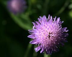 Mirror (.Carter.) Tags: flower purple double best petal bestofthebest macor mywinners platinumphoto theunforgettablepictures goldstaraward excellentsflowers wonderfulworldofflowers damniwishidtakenthat auniverseofflowers