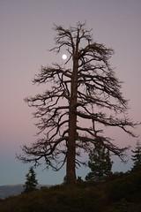 Winter Tree with Moon (cproppe) Tags: california pink winter moon tree night tahoe laketahoemountain