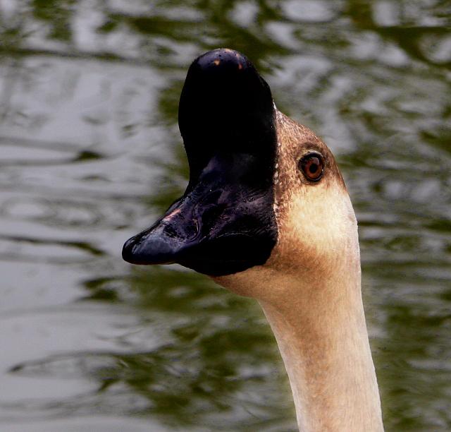 Strange Goose