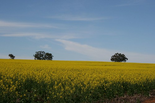 yellow fields2