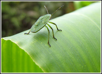 GreenShieldbug copy