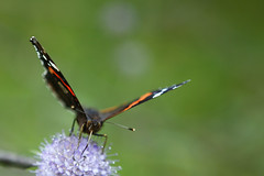 Butterfly (Cvin ) Tags: camera test flower nature canon butterfly lens eos russia review andrew professional pro l 28 preview 247028 russianfederation 2470 cavin  kuznetsov 40d canoneos40d canon40d    andrewkuznetsov canon2470f28llens wwwphotologiaru wwwphotomu
