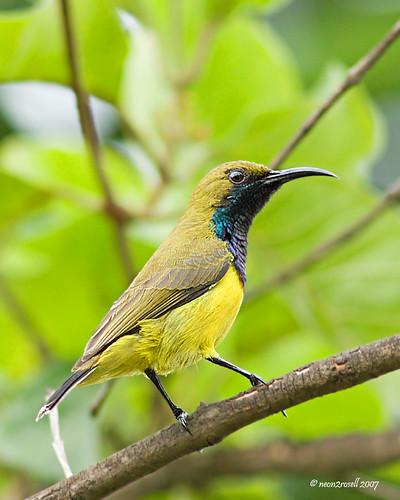 Olive-Backed Sunbird 2795725168_b70ec50dbb