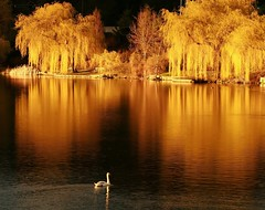 On golden pond (Eyesplash - let's feel the heat) Tags: sunset fab reflection nature vancouver photography golden swan bravo tramonto quality elite sensational week2 bec acqua distillery westend paesaggio lostlagoon oro outpost riflesso willowtrees pgw ongoldenpond naturesfinest firstquality eow opl interesing bej weepingwillowtrees platinumphoto anawesomeshot superaplus aplusphoto ultimateshot visiongroup diamondclassphotographer flickrdiamond amazingamateur theunforgettablepictures thefinalcrown betterthangood theperfectphotographer goldwildlife winnr mutedswan absolutelystunningscapes damniwishidtakenthat