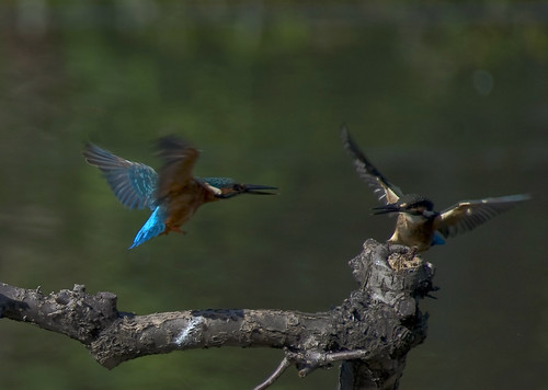 A Kingfisher Attacks a Teenager