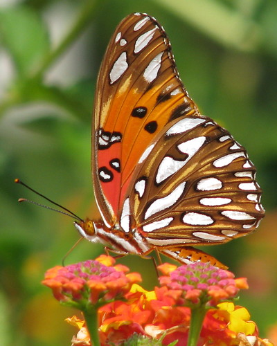 Gulf fritillary at the farm