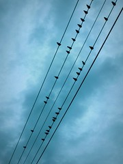 Bird Musical Notes (scilit) Tags: blue sky seagulls nature lines birds animals silhouette gulls musical hydro minimalism hydrowires singingtheblues singintheblues bej abigfave colorphotoaward goldsealofquality iwishidtakenthat damniwishidtakenthat umbralaward trolledproud trollieexcellence