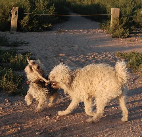 2 dogs - 1 stick