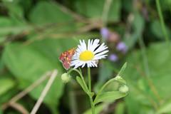 ... (Duru...) Tags: white flower green canon butterfly fourseasons daisy beyaz iek yeil kelebek papatya 400d canoneos400d