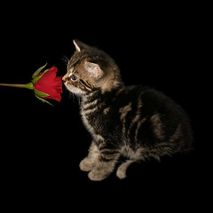 Kitten & Rose (Julia-D) Tags: rose cat kitten gatto ねこ かわいい cc100 lifebeautiful こねこ