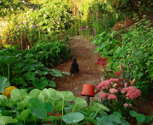 A chicken walks on the path