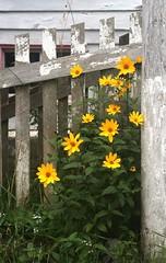 Quaint (naturezoom) Tags: white canada flower yellow fence newfoundland peeling paint stjohns pole blackeyedsusan thebattery canondigitalrebelxti laurapenney naturezoom