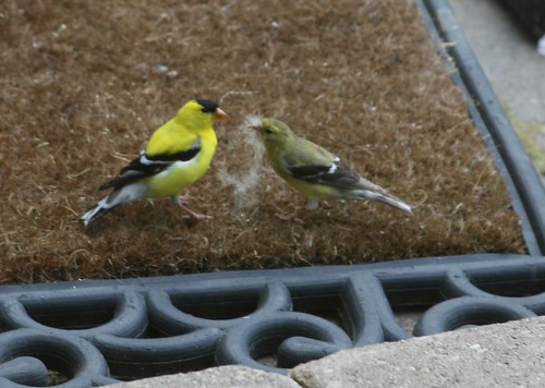 Goldfinches Gathering Nesting Material