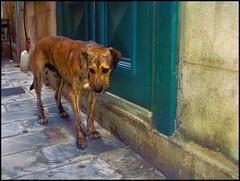 It's a… (zebra404) Tags: dog holiday geotagged hond greece dier pointshoot eiland zebra404 smörgåsbord syros timroff islandstimroff hpphotosmarte427 geo:lat=374441 geo:lon=24943683