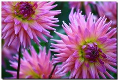 pink dahlia (PHOTOPHOB) Tags: pink dahlia flowers autumn summer plants plant flores flower color macro nature fleur beautiful beauty fleurs petals spring colorful flickr dof estate blossom bokeh sommer herbst natur flor pflanze pflanzen rosa blumen zomer verano bloom otoo blomma vero dalie t blume fiore blomst asteraceae outono dahlias dalia frhling bloem jesie floro kwiat dahlie lato lto sonbahar dahlien kvt blomman efterr blomsten dalio colorphotoaward colourartaward photophob
