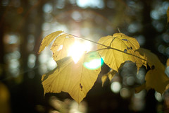 Catch the Light (NH style) (shutterbugMike) Tags: autumn autumnfoliage fallleaves fall leaf fallcolors newhampshire nh pemigewasset autumnleaves autumncolors fallfoliage pemi meredithnh autumninnewengland fallinnh fallinnewengland catchthelight lakepemigewasset meredithnewhampshire autumninnh