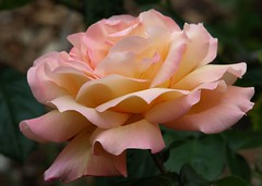 'Chicago Peace' rose (suey_j) Tags: flowers macro nature rose garden petals spring flora excellence flowerfactoryadminfave masterphotos challengeyouwinner superbmacroflowers eifphalloffame