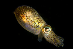 Lady luck swimming bobtail squid (Sepiola atlantica)